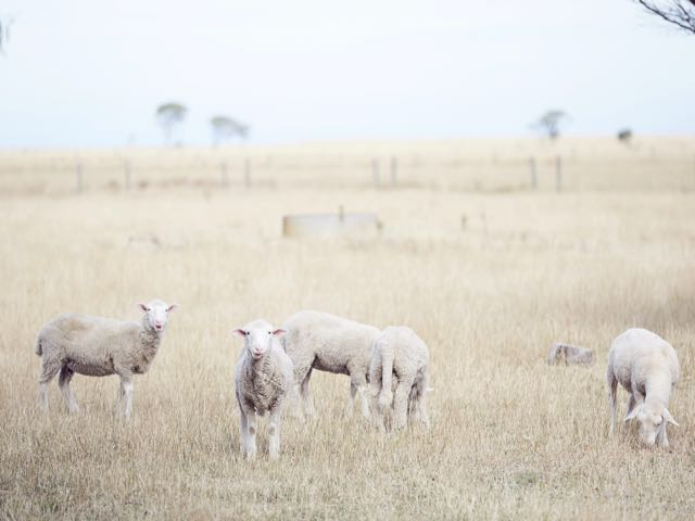 Australian wedding dresses with sheep